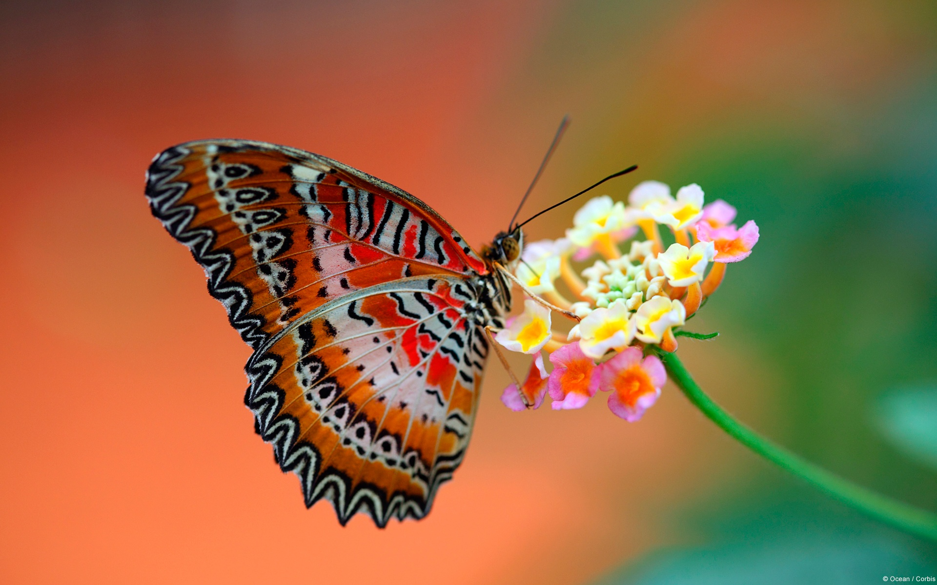 butterfly_on_flower-1920x1200 (1)